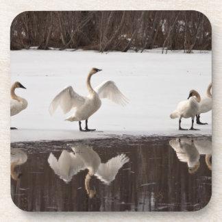 Trumpeter Swan Pairs Drink Coaster