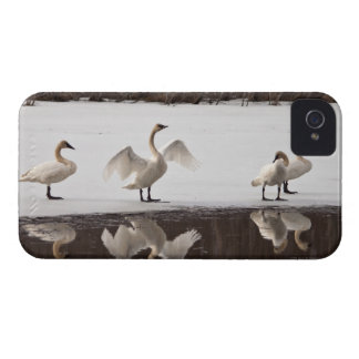 Trumpeter Swan Pairs iPhone 4 Cover