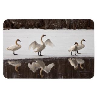 Trumpeter Swan Pairs Magnet
