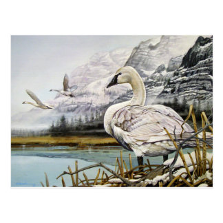 Trumpeter Swan Postcards