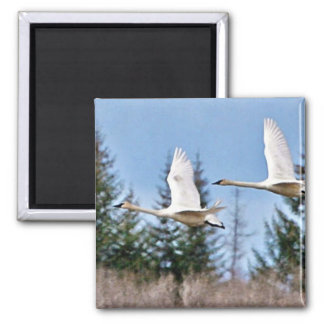 Trumpeter Swans in Flight Magnets