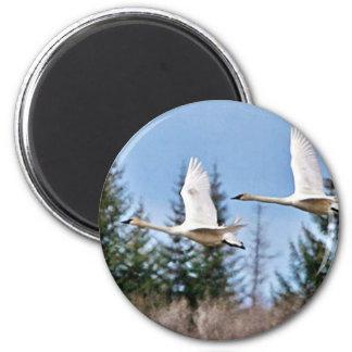 Trumpeter Swans in Flight Refrigerator Magnet