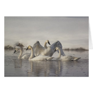 Trumpeter Swans in the Madison River in winter Greeting Card