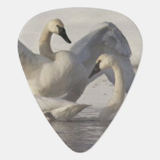 Trumpeter Swans in the Madison River in winter Guitar Pick