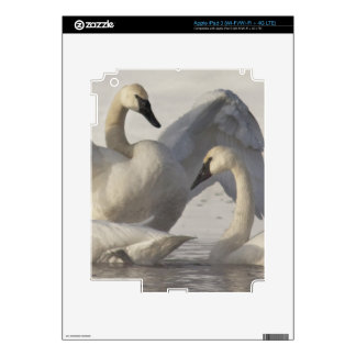 Trumpeter Swans in the Madison River in winter iPad 3 Skins