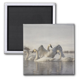 Trumpeter Swans in the Madison River in winter Fridge Magnet