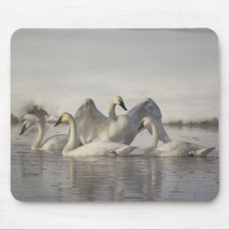 Trumpeter Swans in the Madison River in winter Mouse Pad