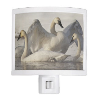Trumpeter Swans in the Madison River in winter Night Light