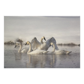 Trumpeter Swans in the Madison River in winter Photo Print