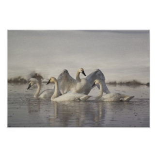 Trumpeter Swans in the Madison River in winter Poster