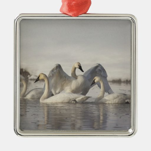 Trumpeter Swans in the Madison River in winter Square Metal Christmas Ornament