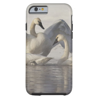 Trumpeter Swans in the Madison River in winter Tough iPhone 6 Case