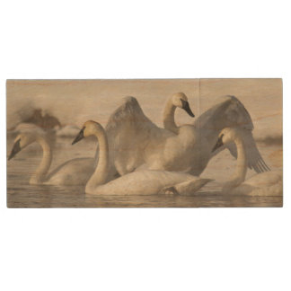 Trumpeter Swans in the Madison River in winter Wood USB Flash Drive