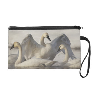 Trumpeter Swans in the Madison River in winter Wristlet