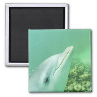 Truncatus) del Tursiops de los delfínes de Bottlen Iman Para Frigorífico