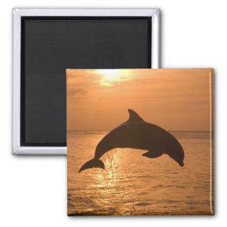 Truncatus) del Tursiops de los delfínes de Bottlen Imán Cuadrado