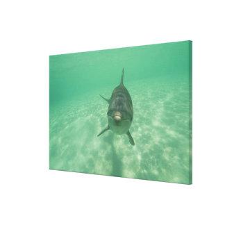 Truncatus) del Tursiops de los delfínes de Bottlen Impresión En Lona