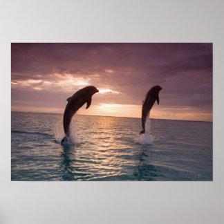 Truncatus) del Tursiops de los delfínes de Bottlen Poster