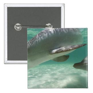 Truncatus) del Tursiops de los delfínes de Bottlen Pin Cuadrado
