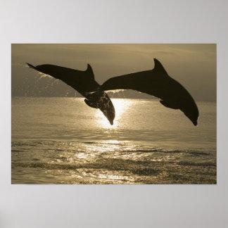 Truncatus) del Tursiops de los delfínes de Bottlen Póster
