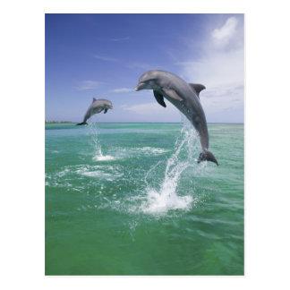 Truncatus del Tursiops de los delfínes de Bottlen Tarjeta Postal