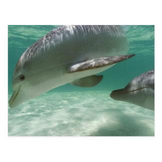 Truncatus del Tursiops de los delfínes de Bottlen Postales