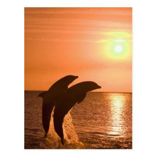 Truncatus) del Tursiops de los delfínes de Bottlen Postales
