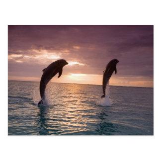 Truncatus) del Tursiops de los delfínes de Bottlen Tarjetas Postales