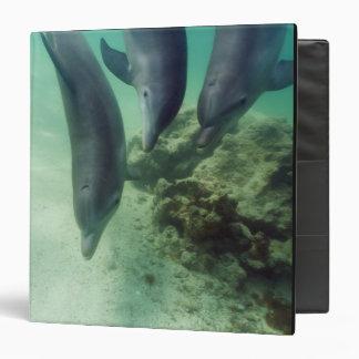 """Truncatus) del Tursiops de los delfínes de Carpeta 1 1/2"""""""