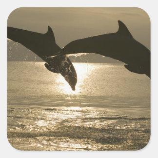 Truncatus) del Tursiops de los delfínes de Pegatinas Cuadradases Personalizadas