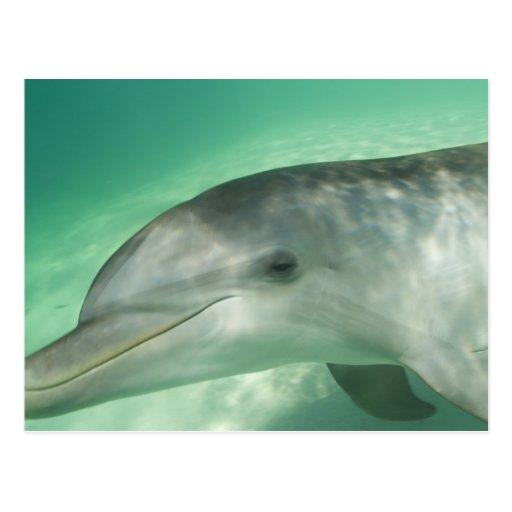 Truncatus) del Tursiops de los delfínes de Postales