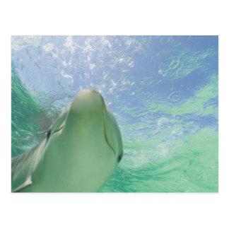 Truncatus) del Tursiops de los delfínes de Postal