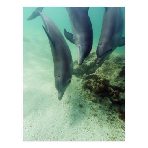 Truncatus) del Tursiops de los delfínes de Tarjetas Postales