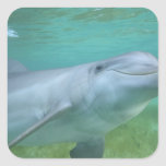 Truncatus del Tursiops del delfín de Bottlenose), Pegatina Cuadrada