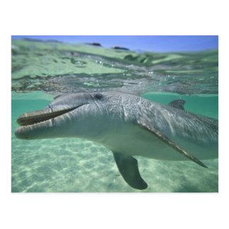 Truncatus del Tursiops del delfín de Bottlenose),  Tarjeta Postal