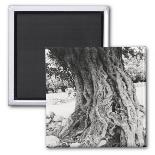 Trunk of ancient Olive tree in Greece photograph Magnet