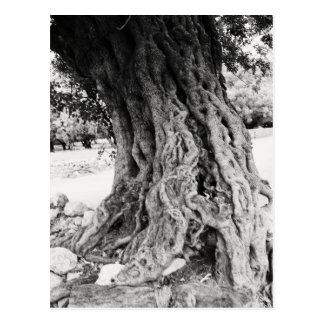 Trunk of ancient Olive tree in Greece photograph Postcard