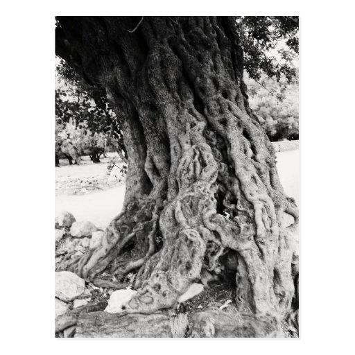 Trunk of ancient Olive tree in Greece photograph Postcards