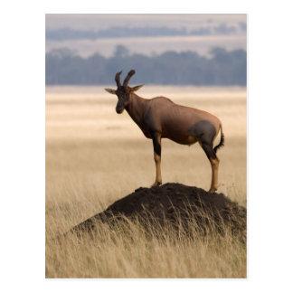 Tsessebe Antelope On Lookout For Predators Postcard
