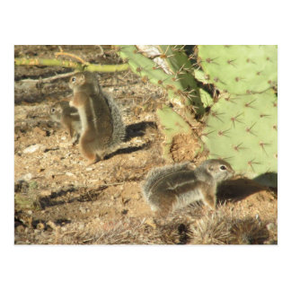 Tucson Desert Squirrels Postcard