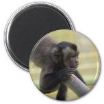 Tufted Capuchin Monkey Magnet Fridge Magnets