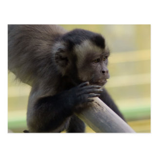 Tufted Capuchin Monkey Postcard