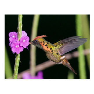 Tufted Coquette 4 Postcard