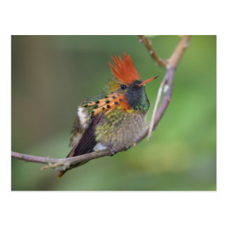 Tufted Coquette 5 Postcard