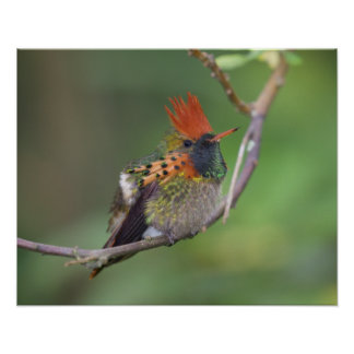 Tufted Coquette 5 Poster