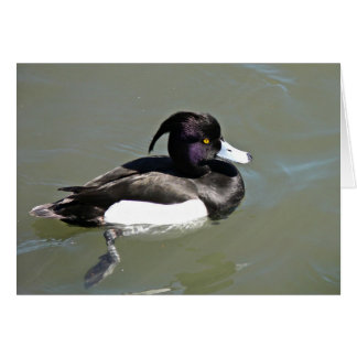 Tufted duck card