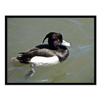 Tufted duck postcard
