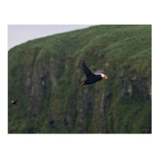 Tufted Puffin in flight at Aiktak Island Postcard