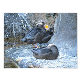 Tufted Puffin Photographic Print