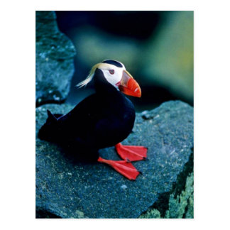 Tufted Puffin Postcard